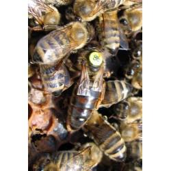 Matka pszczela nieunasienniona Krainka Sklenar H47G10