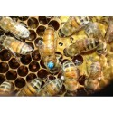 Matka pszczela unasienniona Buckfast Primorski
