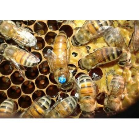 Matka pszczela unasienniona Buckfast Elgon